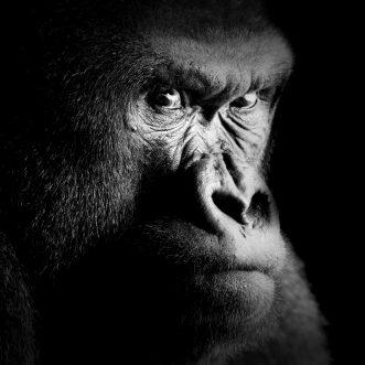 Wohl dem Augenoptiker, der den Gorilla früh genug erkennt